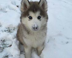 Un chien des neiges trop mignon